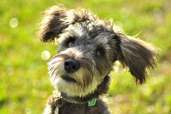 Schnoodle Hybrid Dog Breed Information Pictures Characteristics Facts Dogtime Schnoodle Dog Schnoodle Puppy Hybrid Dogs