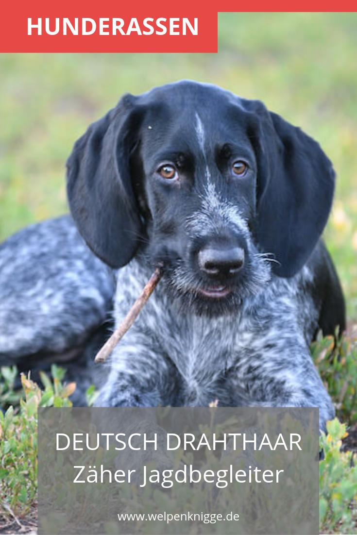Deutsch Drahthaar Welpen Deutsch Drahthaar Welpen Jagdhund