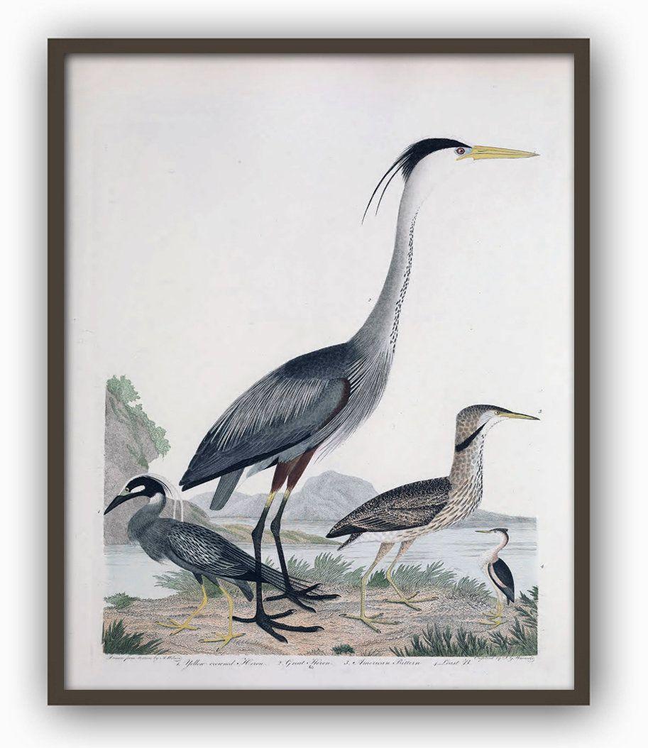 Birds Print Antique Bird Illustration Great Heron Picture Etsy Antique Bird Illustration Large Scale Wall Art Bird Prints