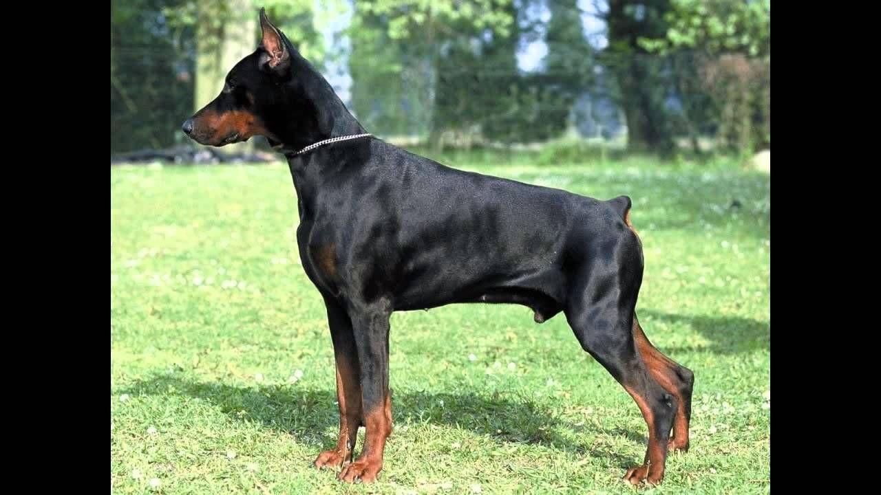 Doberman Pinscher Dogs Youtube Doberman Doberman Pinscher Dog