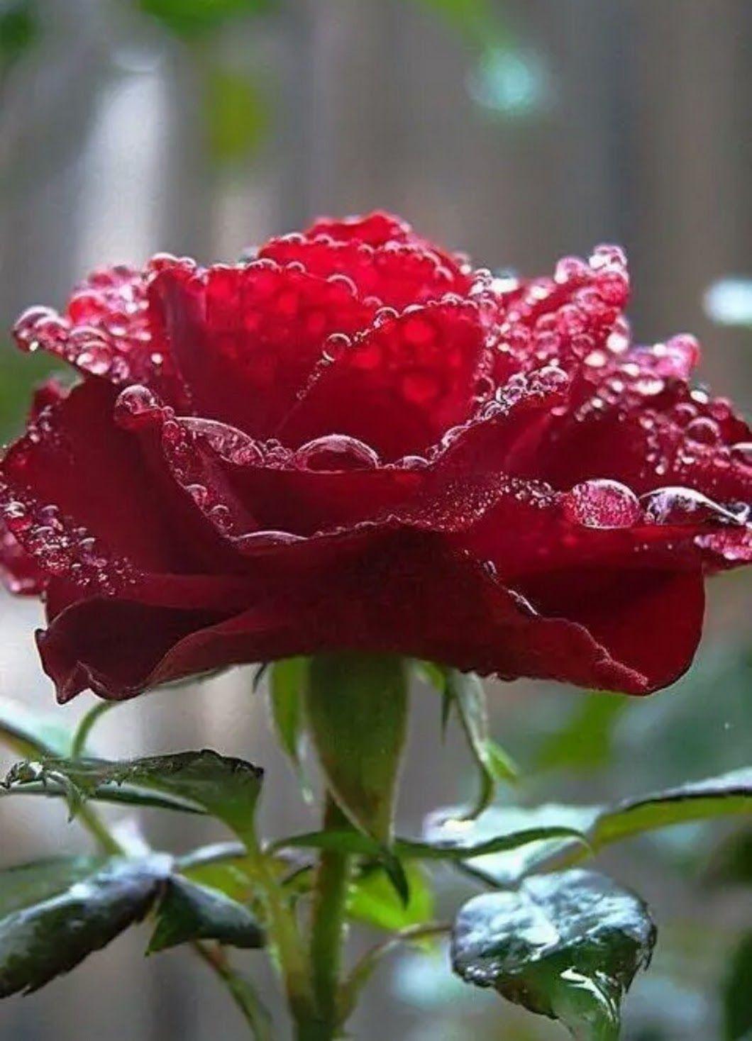 Фотография   Róża, Róże, Piękne kwiaty