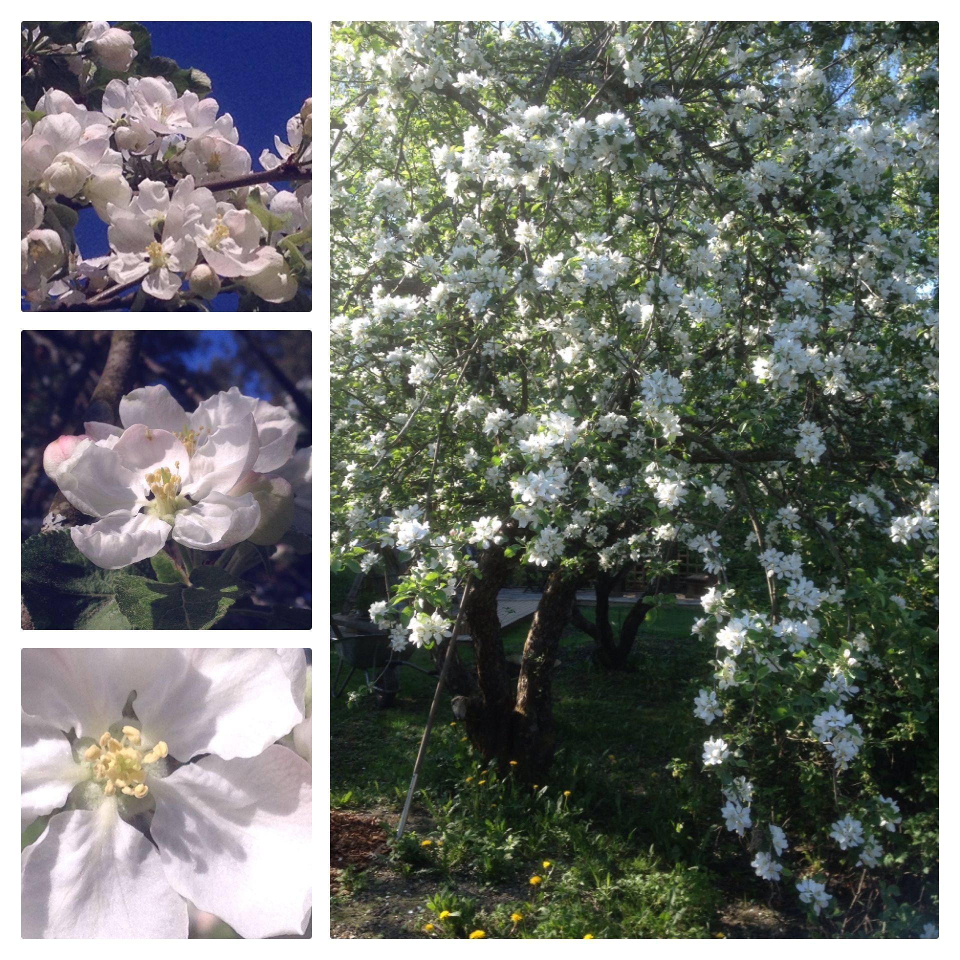 Omenapuun kukkien aikaan