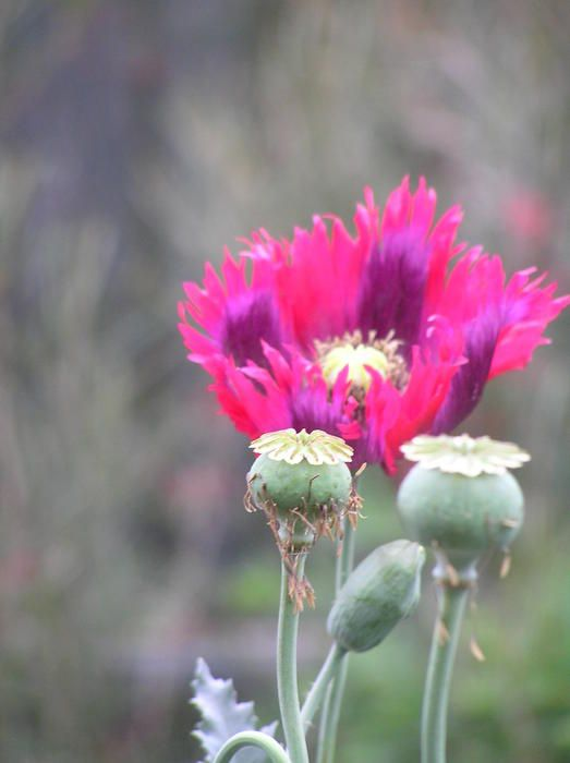 Drama Queen Poppy And Pods By Helen Penwill Poppies Drama