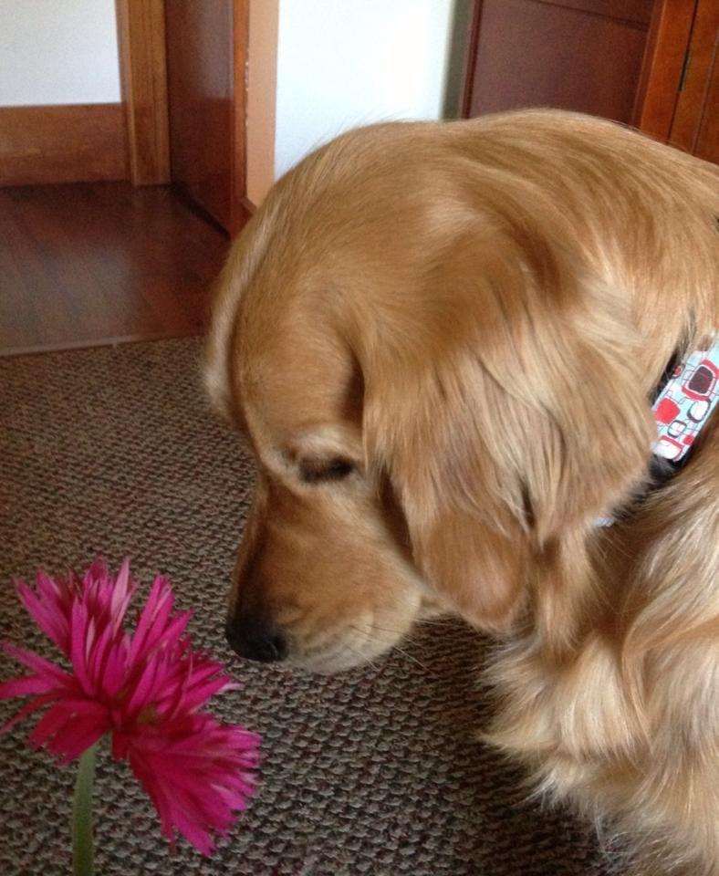 Maggie Comfort Dog (Facebook via K9 Parish Comfort Dogs)