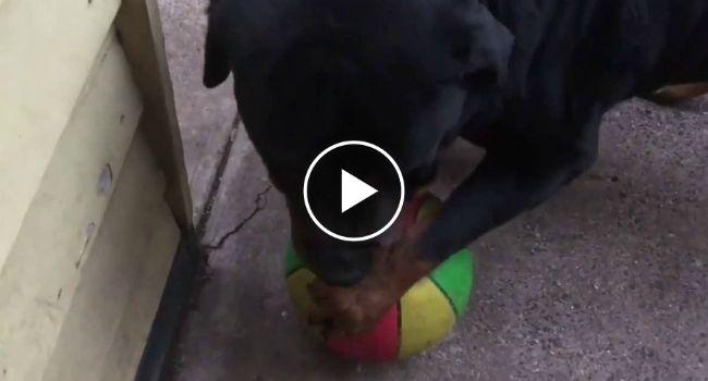 Bola Cai Acidentalmente Na Casa Do Vizinho Mas Rottweiler Não Está Interessado Em Devolvê-la http://www.funco.biz/bola-cai-acidentalmente-na-casa-do-vizinho-rottweiler-nao-esta-interessado-devolve-la/