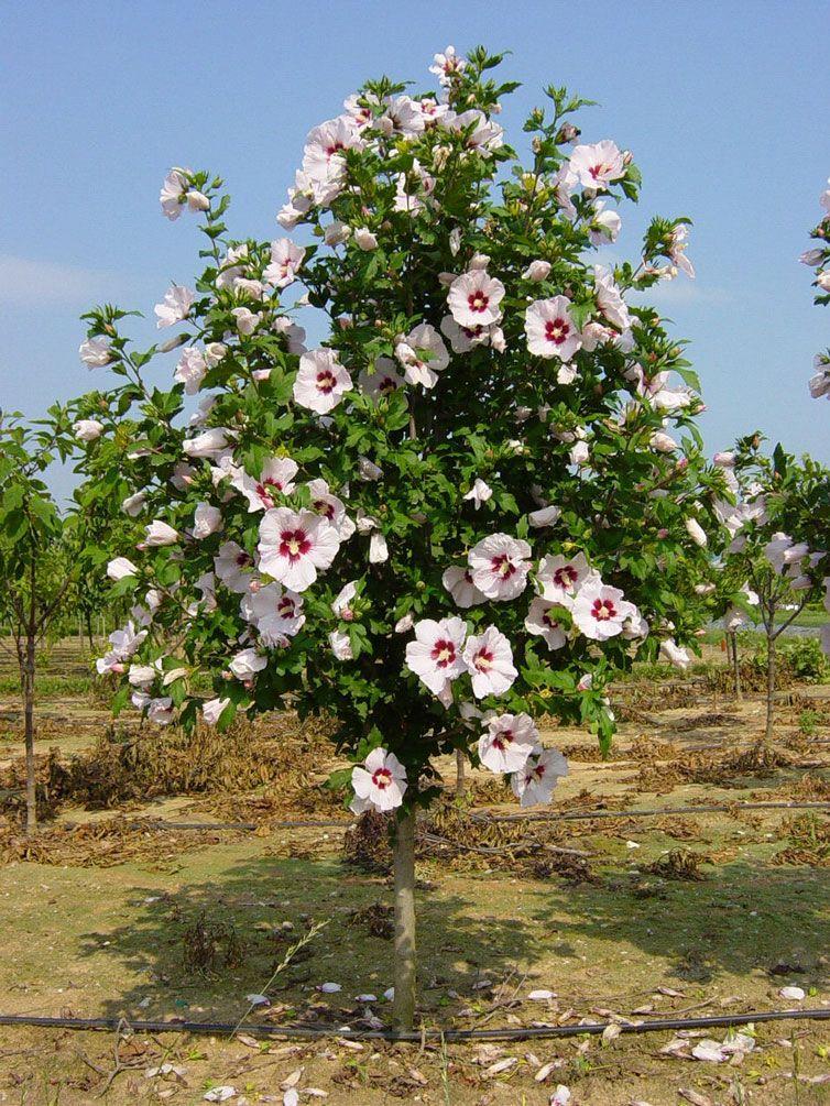 Hibiscus Syriacus Red Heart Gartenpflanzen Pflanzen Garten