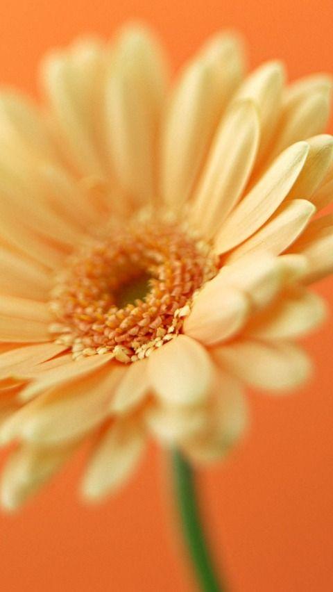 花 Iphone5用の花 自然の壁紙 Nature Wallpaper 花 ガーベラ 花 壁紙