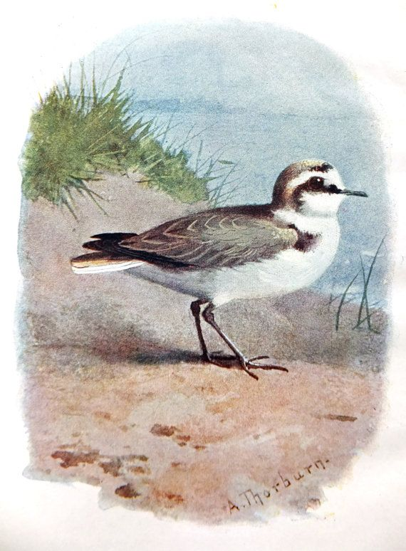 Kentish Plover - Antique Bird Print - Vintage Bird Picture - Thorburn Bird Print - Home Decor on Etsy, £6.00