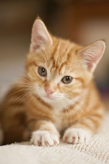 """""""Acrobat, diplomat and simple Tabby cat. He conjures tangled forests in a furnished flat."""" --Michael Hamburger #gingerkitten - sari"""