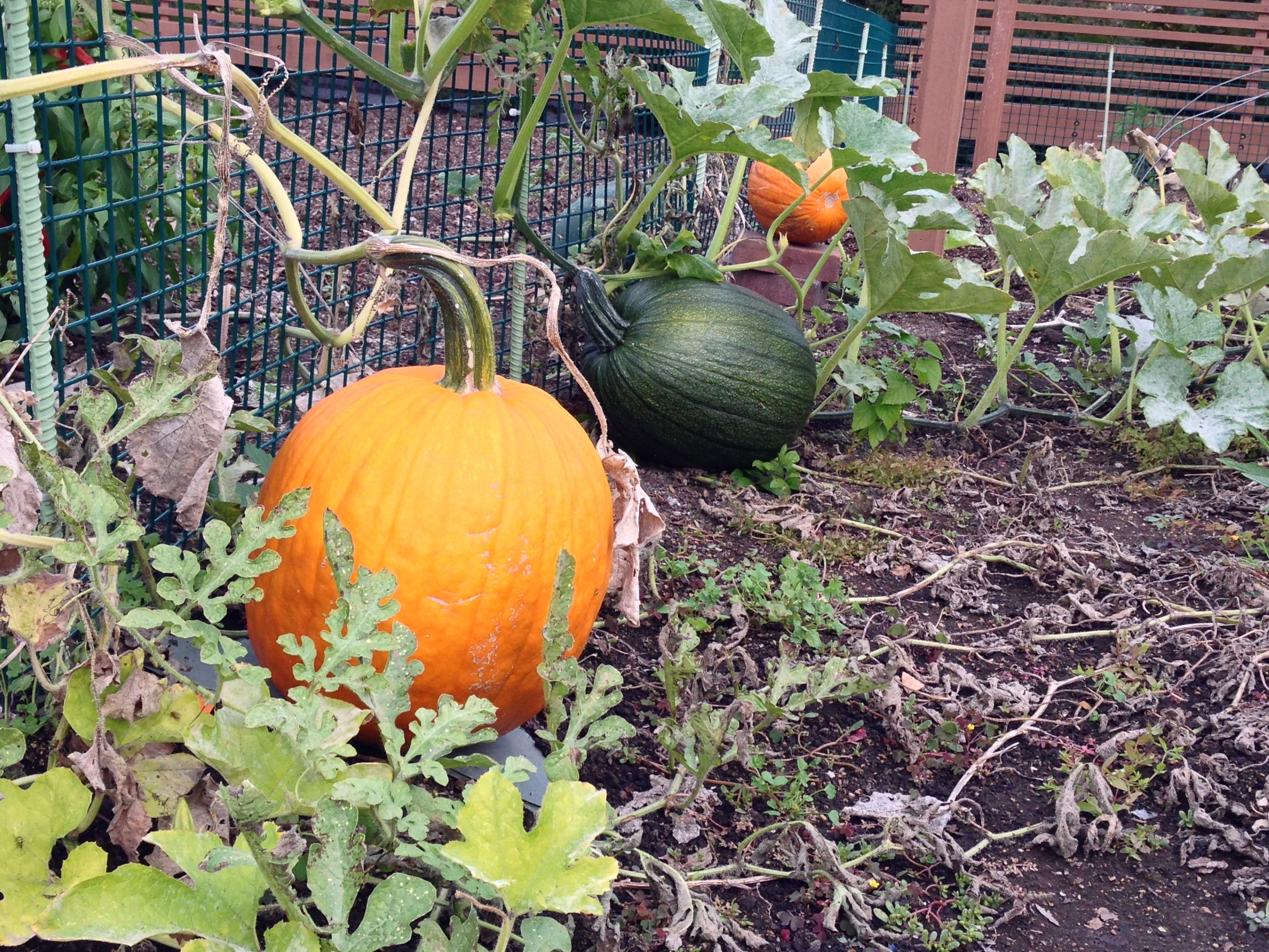 harvest winter squash and pumpkins before frost for best storage