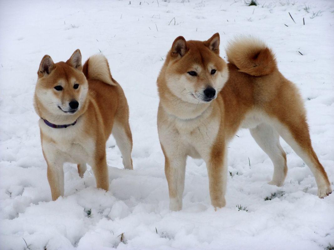 Shiba Inu Origem: Japão Grupo: Cães de Pastoreio Altura: 35 a 43cm  Peso: 12 a 15kg  Expectativa de vida: 12 a 15 anos.   vipsites.wix.com/vidavetcare  #ShibaInu #raçasdecães #guiaderaças #veterinário #cachorro