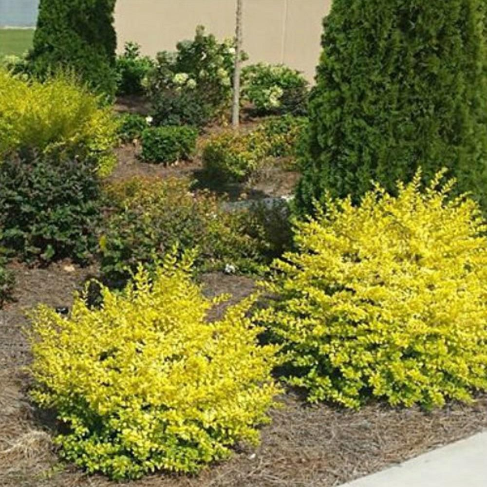 Southern Living Plant Collection 2 5 Qt Sunshine Ligustrum Evergreen Shrub Bright Golden Yell Shrubs For Landscaping Evergreen Shrubs Landscaping With Rocks