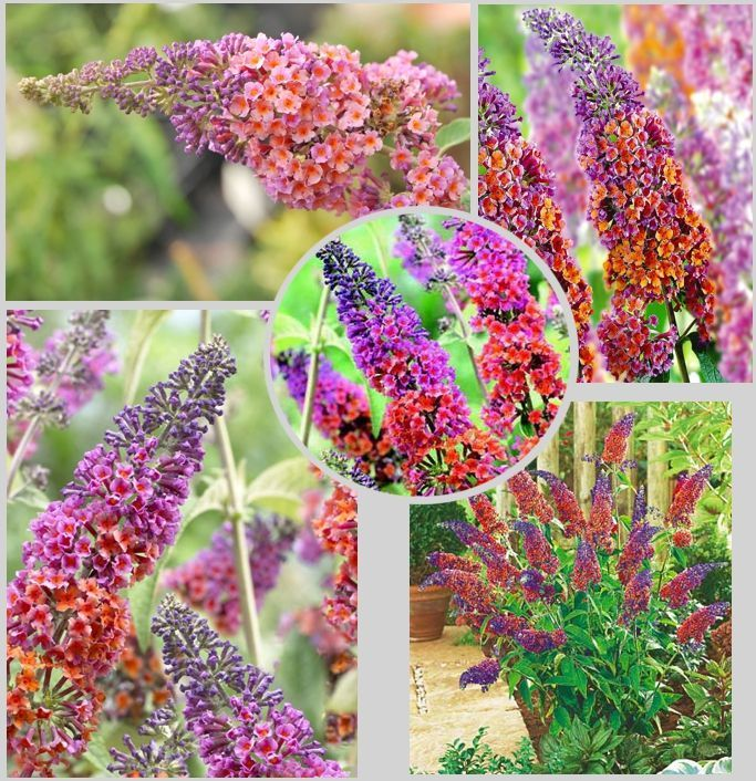 Budleja Flower Power Unikatowa Sadzonki Promocja 4276729489 Oficjalne Archiwum Allegro Flower Power Flowers Garden