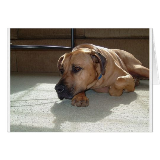 blackmouth cur laying (With images) Black