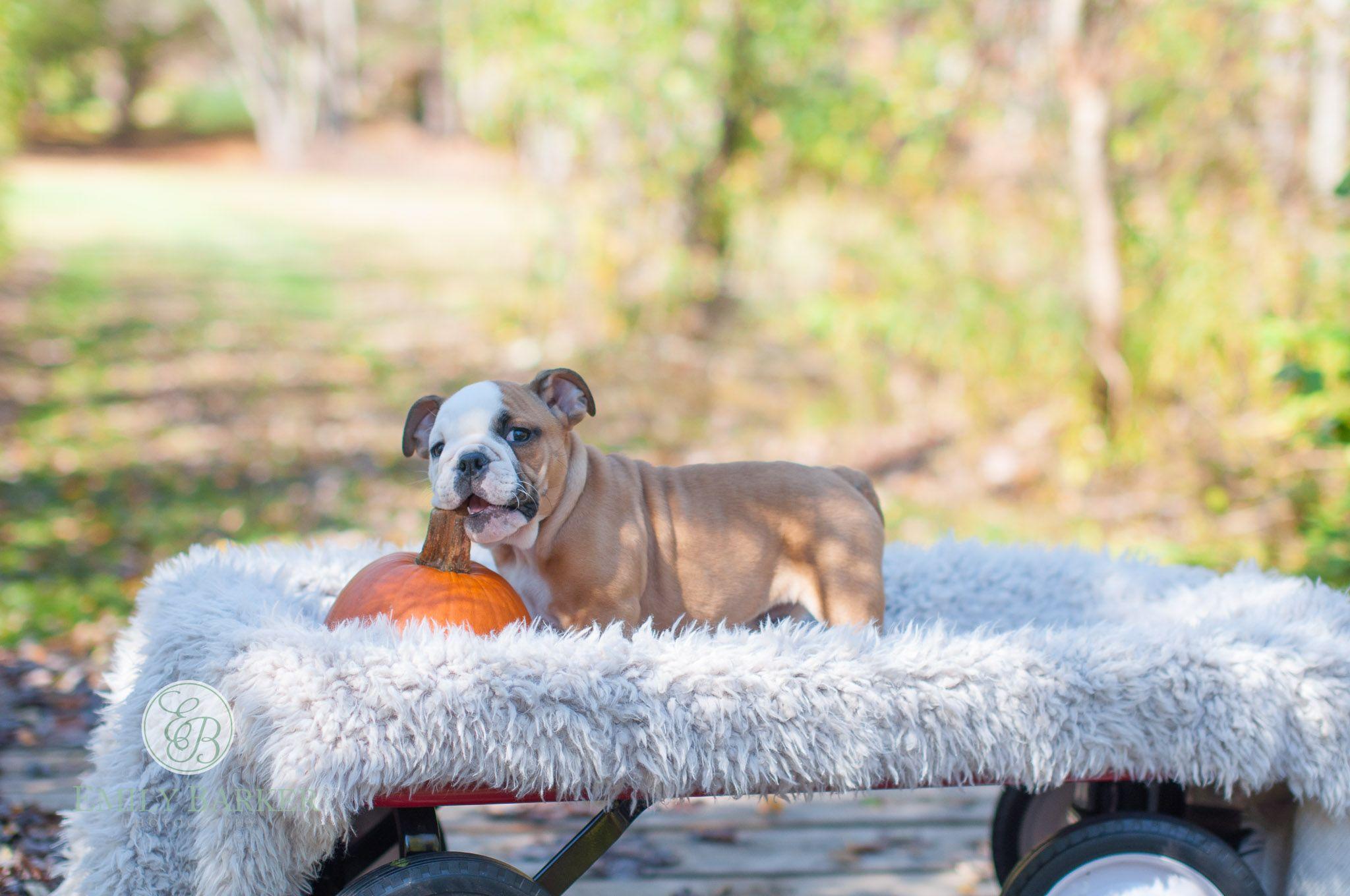 Boston Area Puppy Photography Www Emilybarkerphotography Com