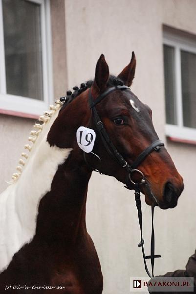 Beautiful Horse Polski Koń Szlachetny Półkrwi Horse Pferde