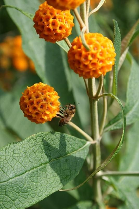 Buddleja Globosa Wikipedia The Free Encyclopedia Beautiful Flowers Butterfly Bush Flowers