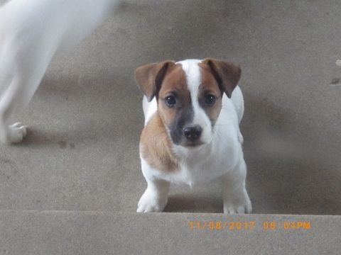 Litter Of 4 Jack Russell Terrier Puppies For Sale In Cincinnati Oh Adn 53021 On Puppyfinder Co Jack Russell Terrier Jack Russell Terrier Puppies Jack Russell