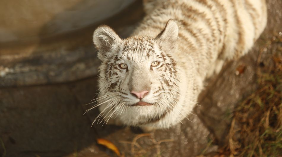 Así luce Sumac, la primera tigresa blanca nacida en cautiverio en el Perú