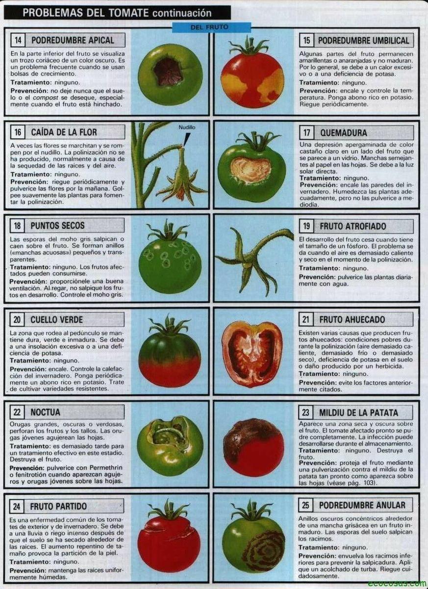 Tomates, plagas, enfermedades, semilleros y más   Ecología is part of Tomato plants -