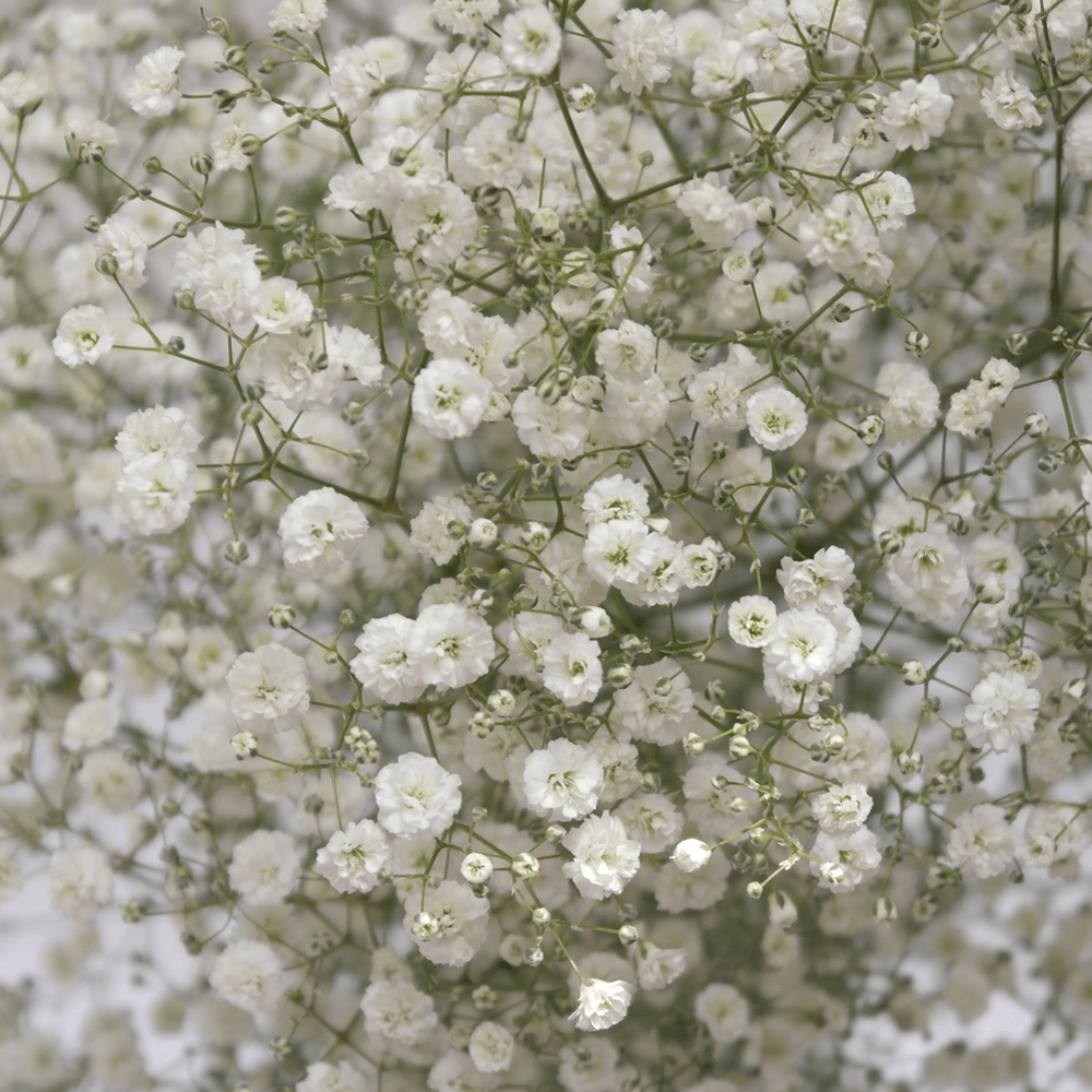 240 Stems Million Star In 2020 Gypsophila Babys Breath Flowers Seasonal Flowers