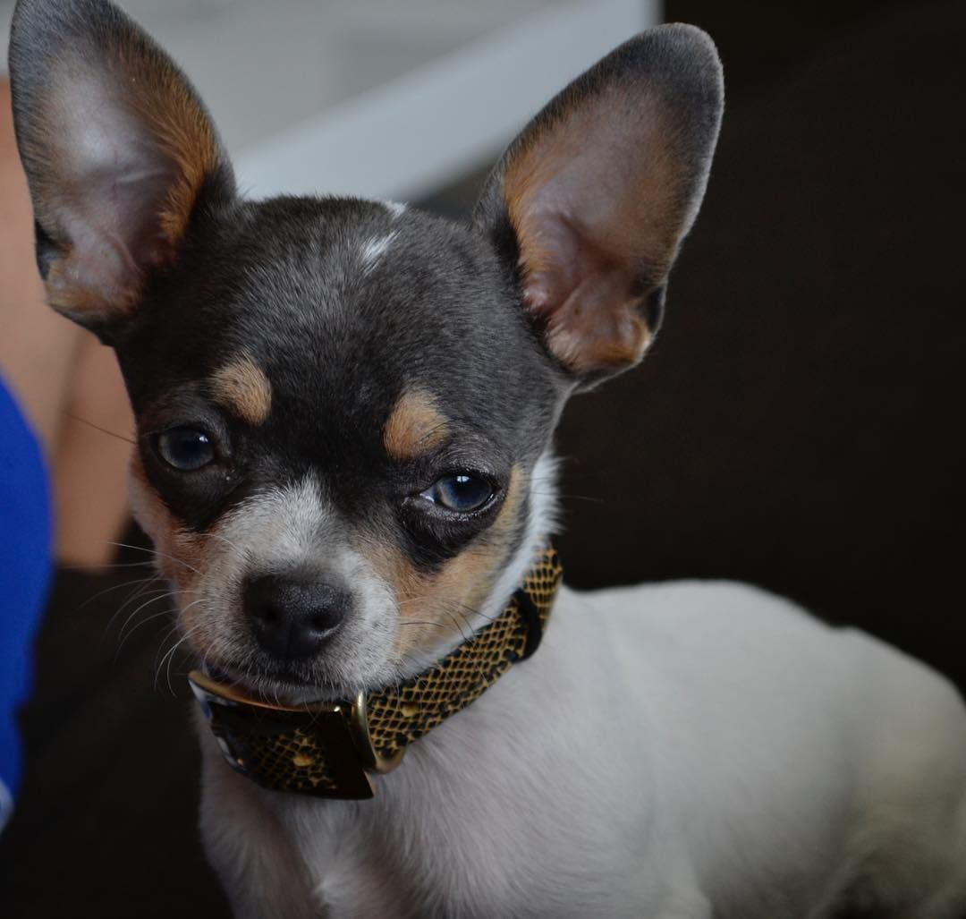 Be Brave Chihuahua Chihuahualovers