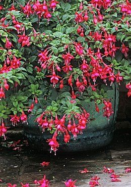 Fuchsia plant care guide. Shade plant that prefers cooler weather.