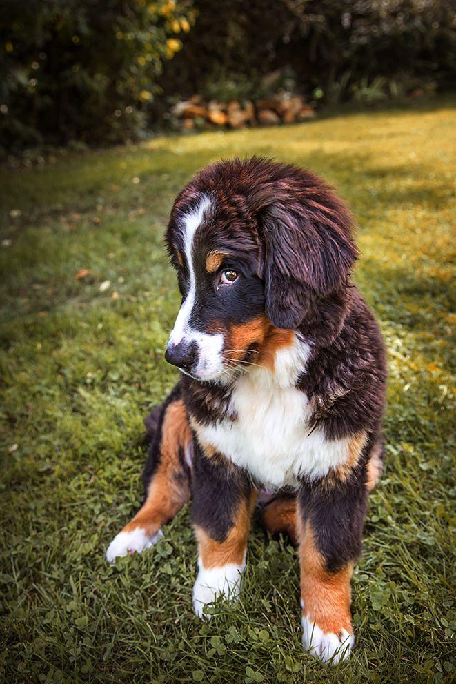 Berner Sennenhund Bernese Mountain Hund portraits, Tiere