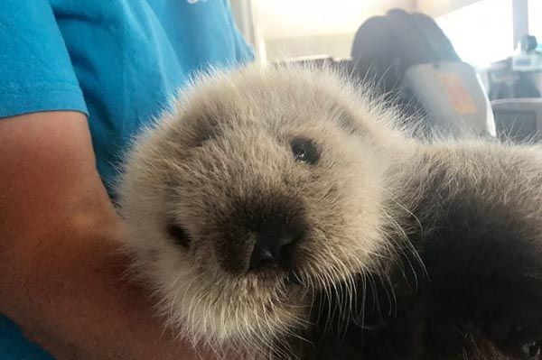 Vancouver Aquarium takes in tiny sea otter pup! - June 30, 2017 - Photos and video at today's Daily Otter post: https://dailyotter.org/posts/2017/6/30/vancouver-aquarium-takes-in-tiny-sea-otter-pup