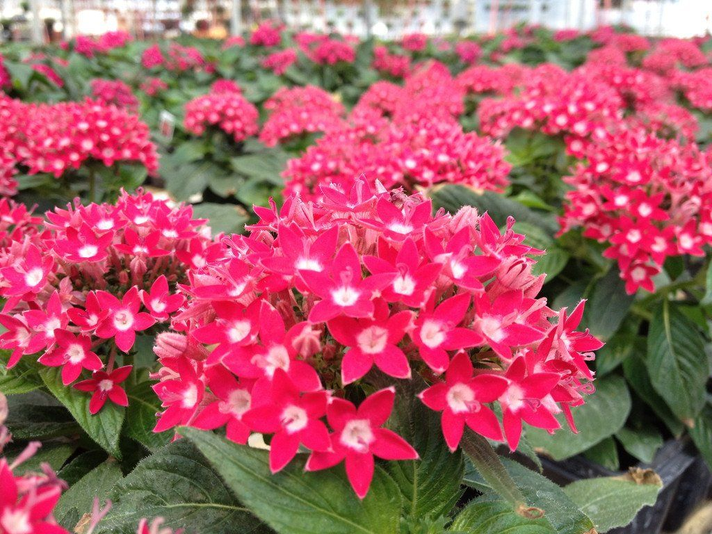 100 Bulk Seeds Pelleted Pentas Starla Deep Rose Perennial Seeds