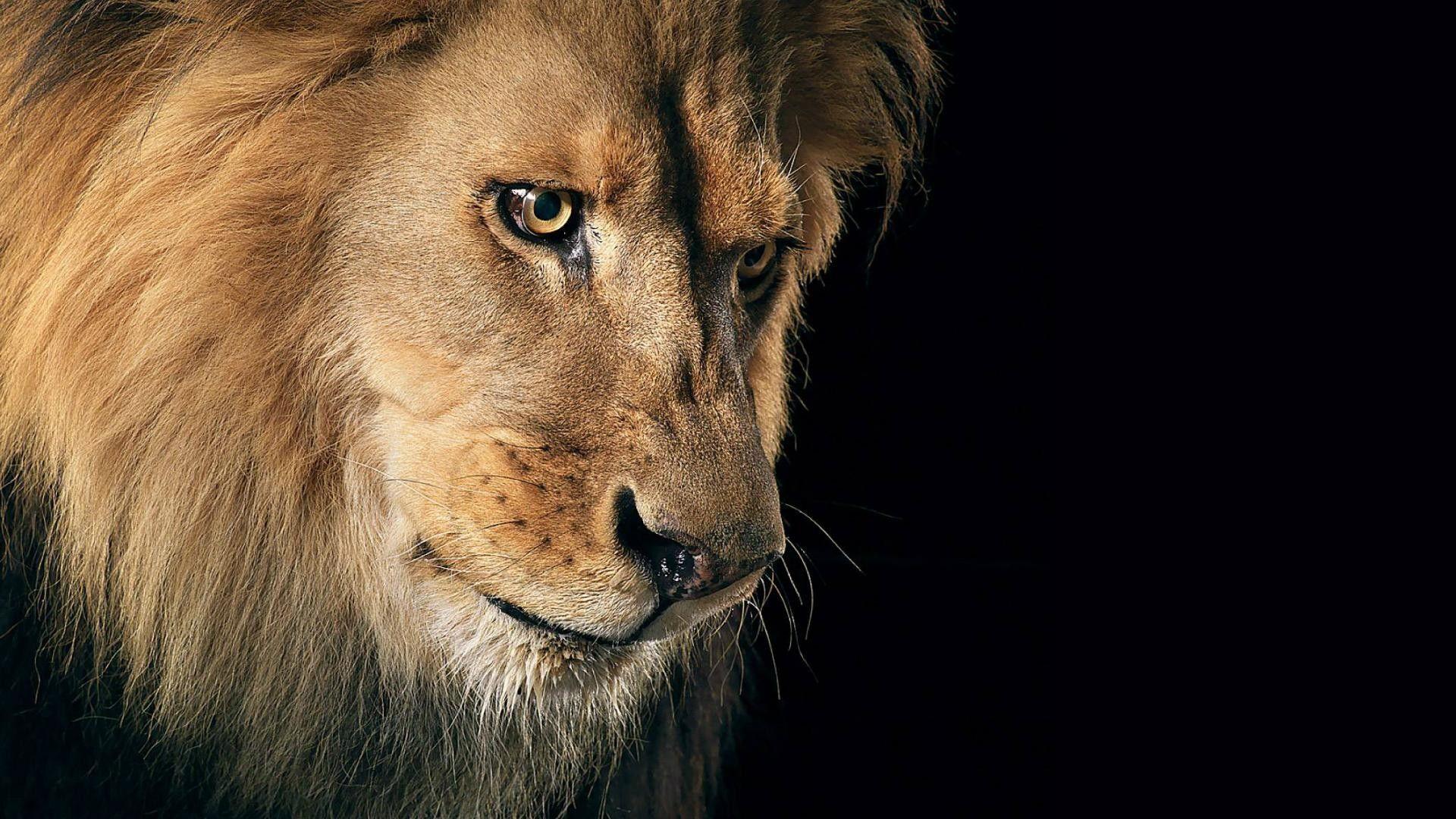 sad lion hd 1080p wallpapers download | stuff to buy | pinterest