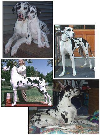 Harlequin Great Dane C Great Dane Colors Great Dane Dogs