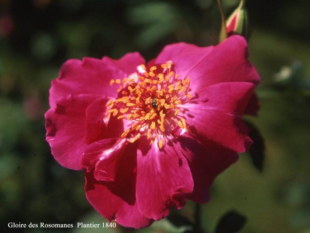 Epingle Sur Roses Et Rosiers