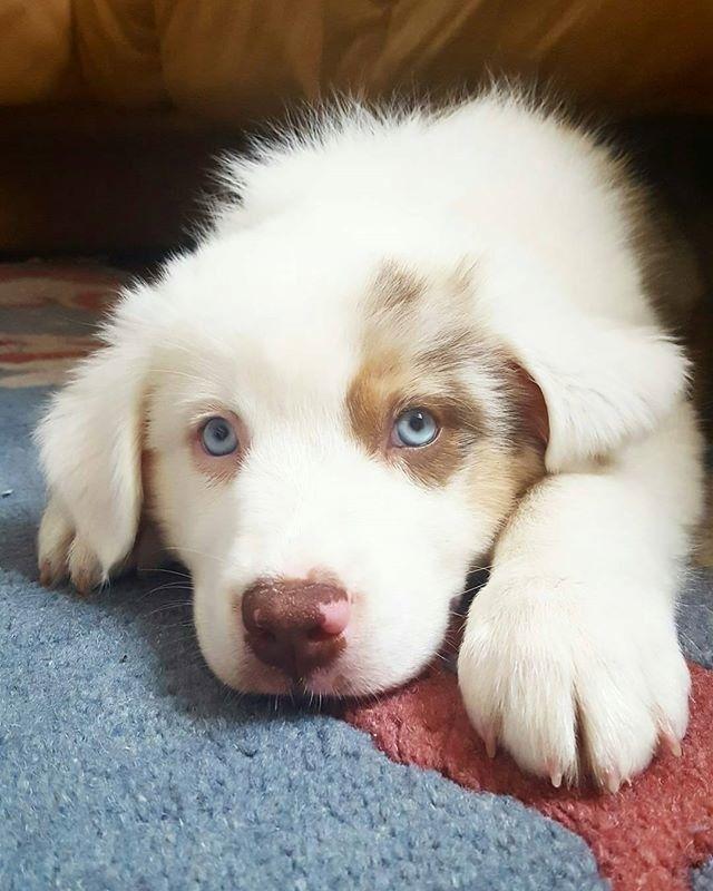 Photo of 17 Beweise, dass Australische Schäferhunde die widerlichste Hunderasse der Welt sind