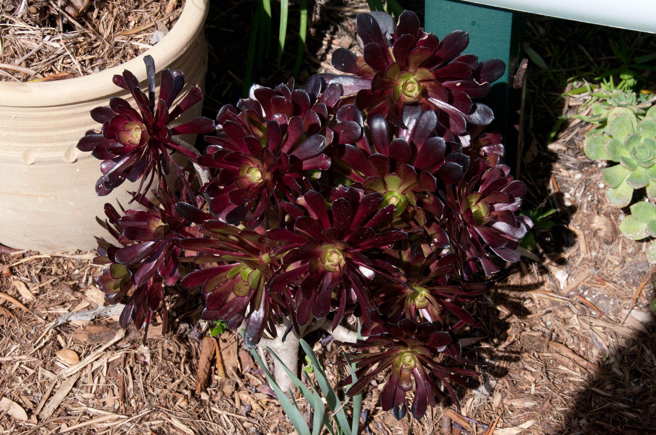 Aeonium arboreum 'Zwartkop' (Aeonium Zwartkop) FRONT & REAR YARD