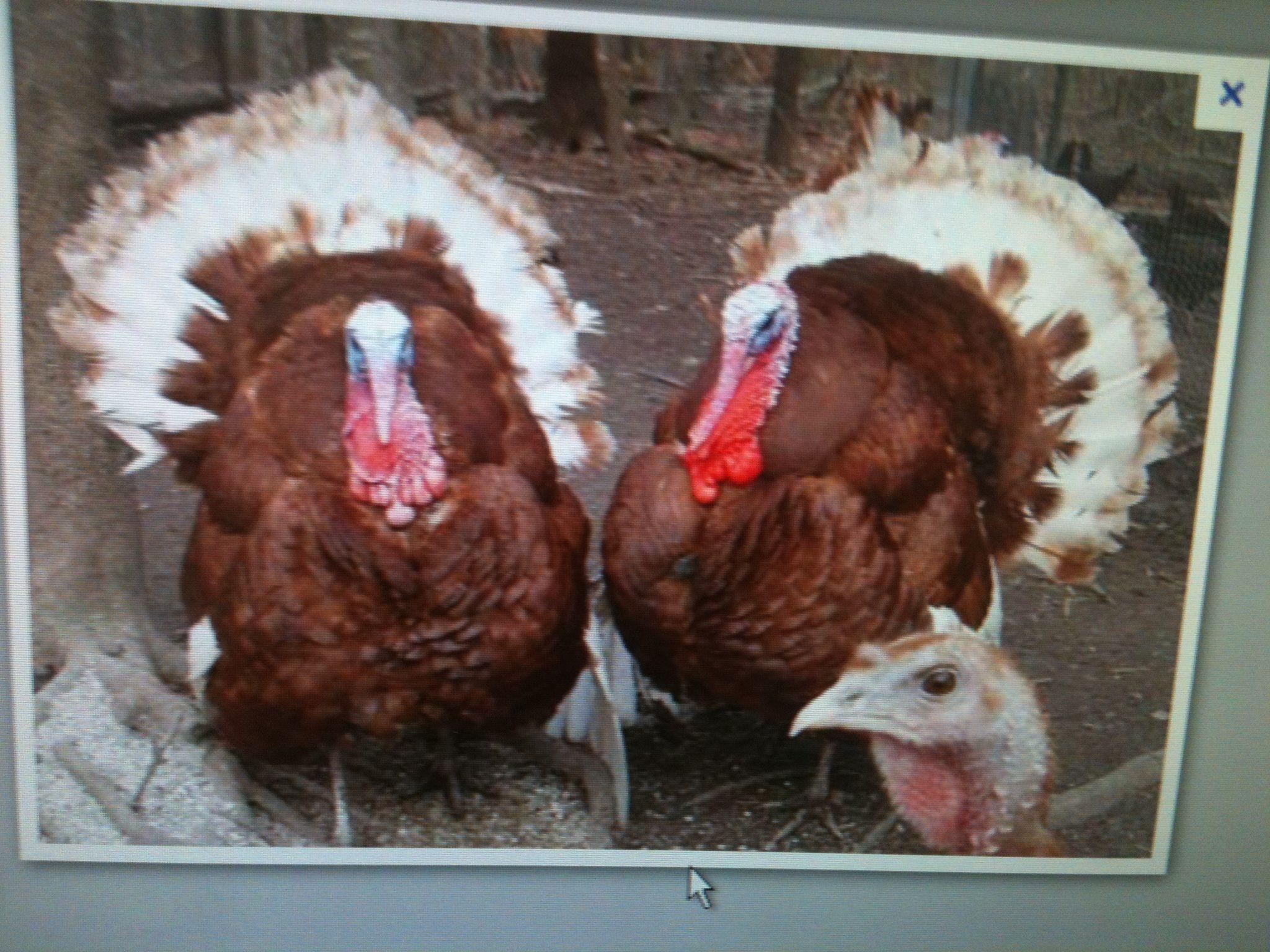 Raising six turkeys for thanksgiving