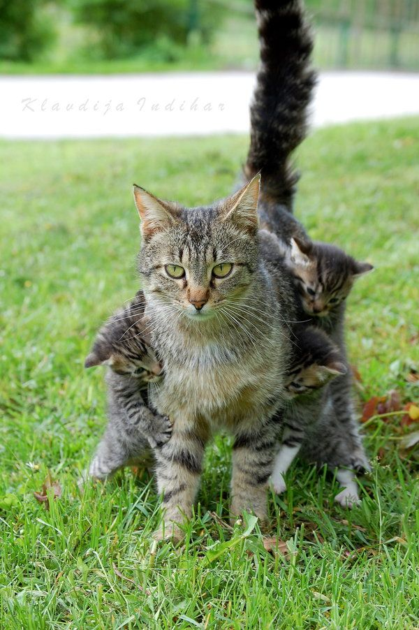 sanotoshihide:  mostlycatsmostly:  Play with Us, Mom (by Shadows-in-Twilight)  立派な母猫としがみつく子猫達