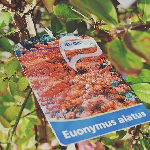 Indian summer plant #dieprood #herfst #rood #najaar #autumn #blad #zeeland #groen #tuintrends #tuinieren #hovenier #planten