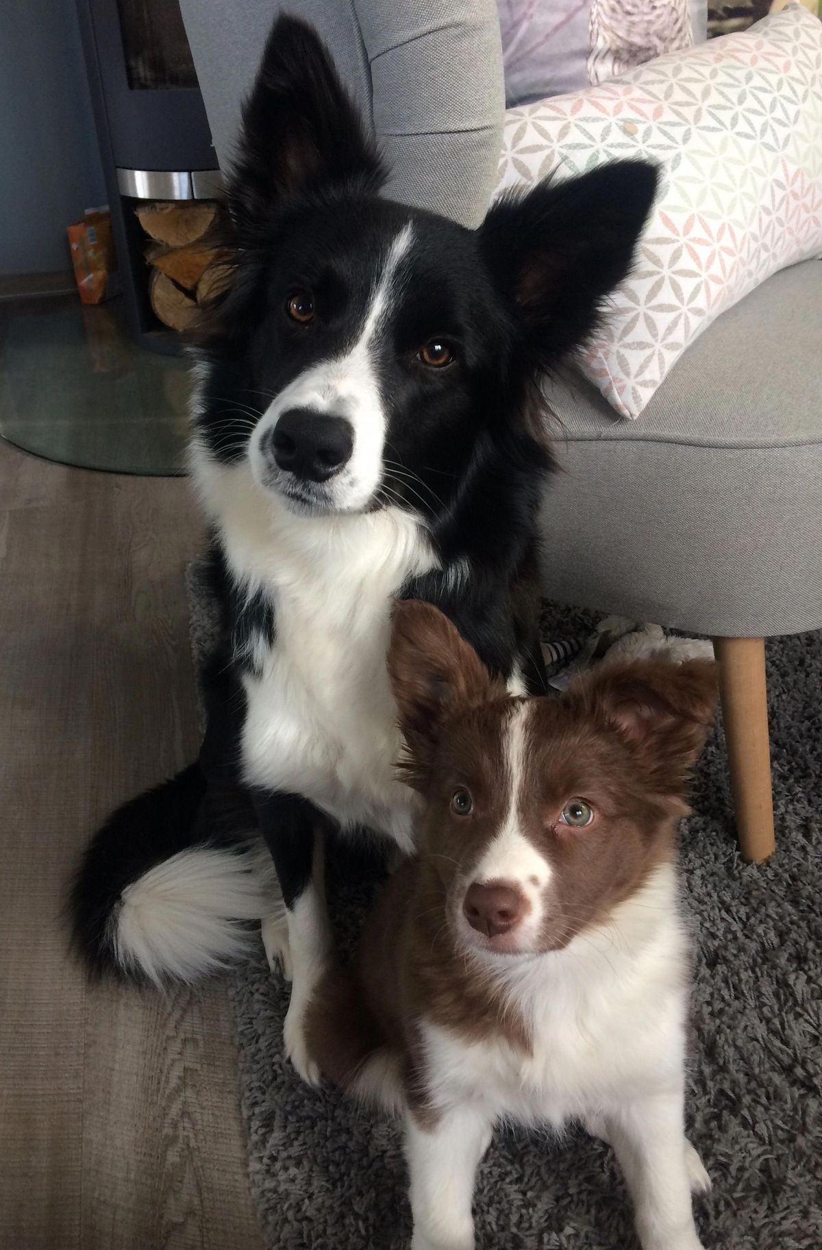 Love The Black And White Border Collies But The Red Ones Are Cute