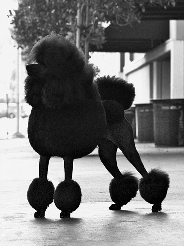London Uk Black Standard Poodle Poodle Poodle Grooming