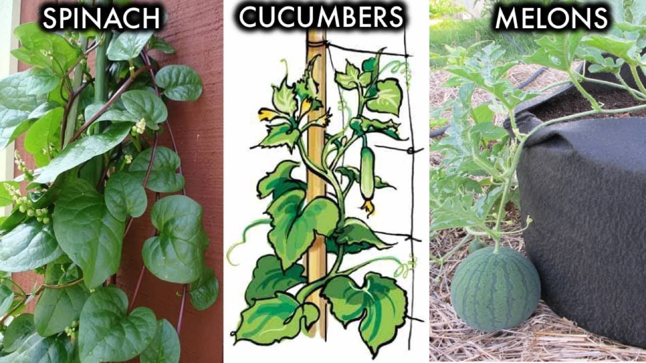 6 Climbing And Vining Vegetables You Can Grow In 400 x 300