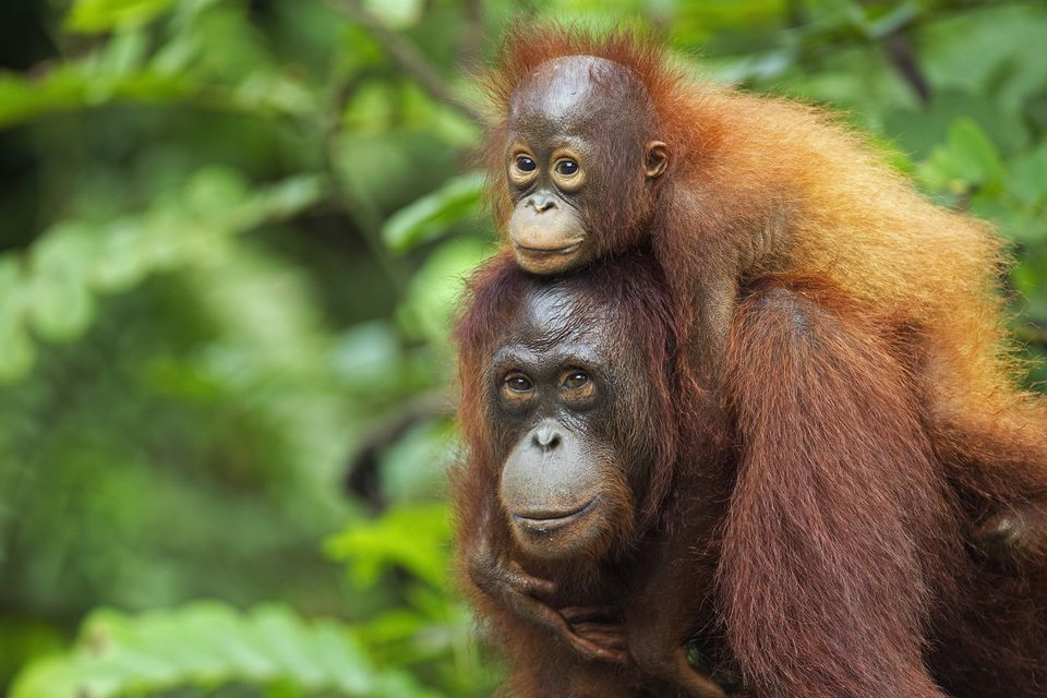 Image result for the bornean orangutan