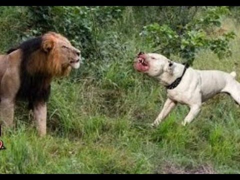 Real fight: Lion vs Pitbull - Dog vs boars - Dog vs monkey