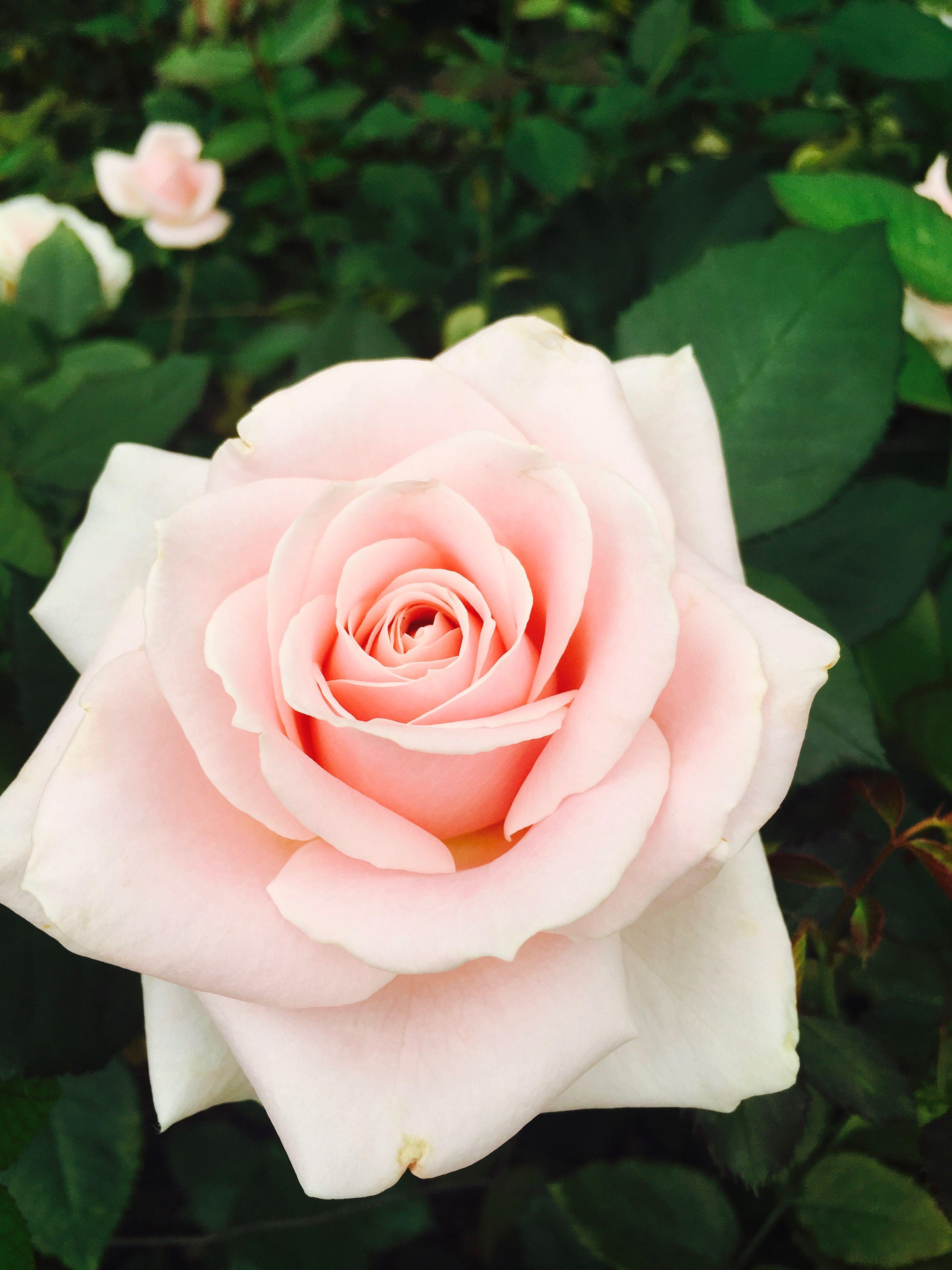 Nature Rose Pinkrose Nature Flower Flowers Love Beauty Beautyinnature Flowers Rose Beautiful Flowers