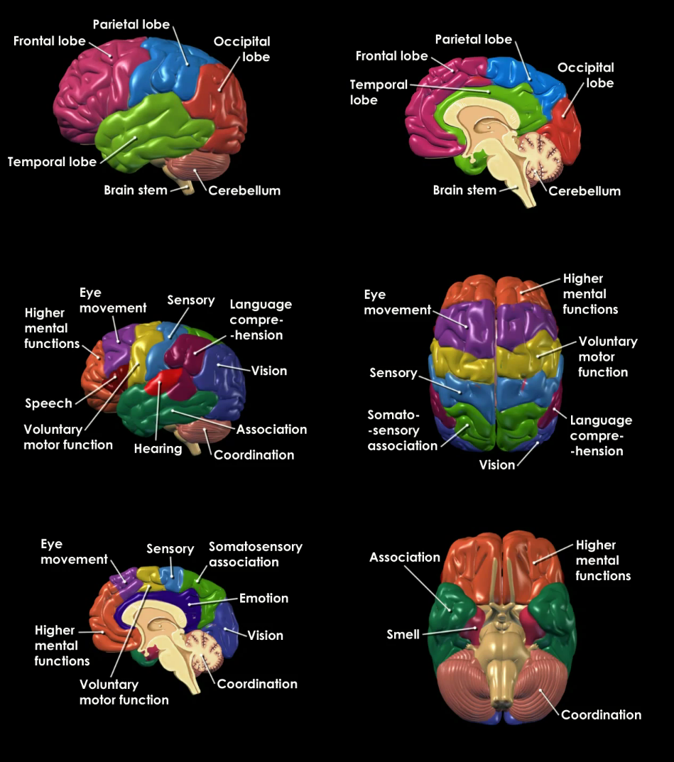 brain anatomy and functions | School (Psychology and Related Fields ...