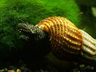 Giant Sulawesi Snails For Sale Photo Credit Invertobsession Giant Sulawesi Snails Are One Of The Largest Fres Snail Fresh Water Fish Tank Tropical Fish Store