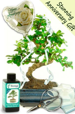 Stunning Flowering Bonsai Anniversary Gift This is a lovely comprehensive flowering bonsai gift set. • Superb Oriental Tea Tree indoor bonsai with twisty ...