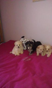 Morkie Puppies For Sale Morkie Puppies Morkie Puppies For Sale Morkie