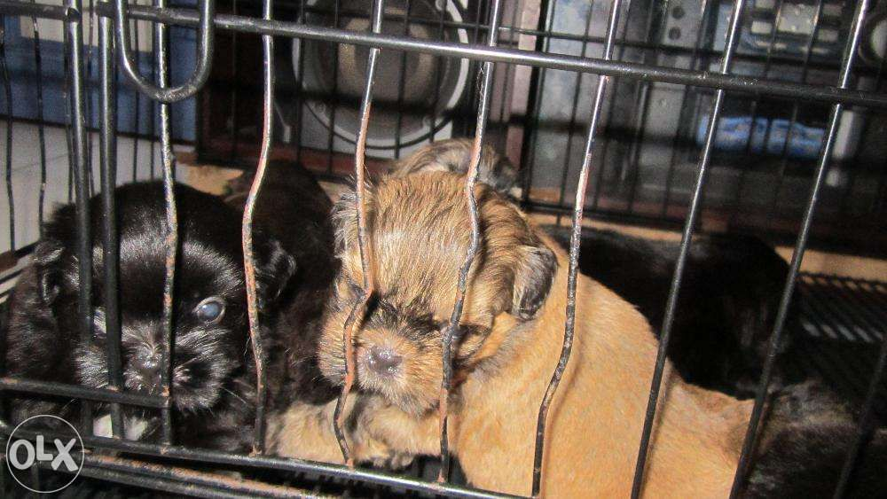 Shih Tzu Female Male Reprice Rush For Sale Philippines Find
