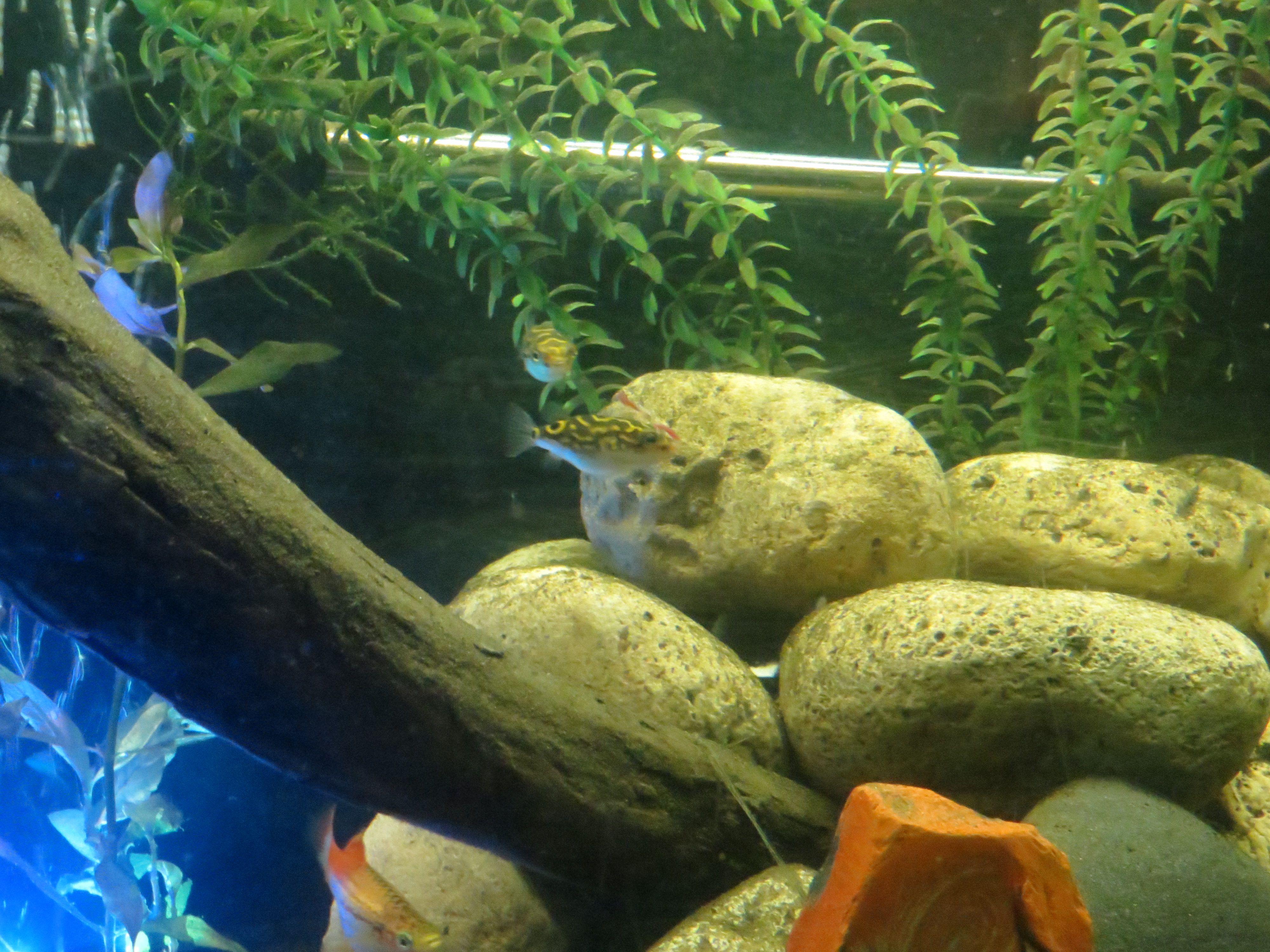 Figure 8 Puffer Fish Eating Blood Worms Trustefish Fish